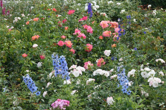 Rose und Rittersporn