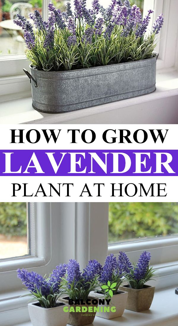 How To Grow Lavender Plant At Home In 2020 Growing Lavender Lavender Plant Plants