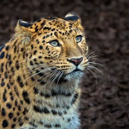 Amur leopard Photo by Steve Higgins — National Geographic Your Shot