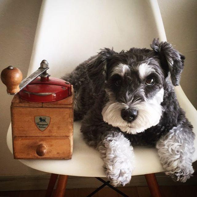 【 犬と珈琲ミル 】 dog & coffee mill / peugeot France  昔 友達が営む ブロカントの店で 出会った珈琲ミル。 友達が珈琲ミルを回し 丁寧に淹れてくれた 珈琲の味は格別でした。 珈琲ミルのある暮らしは やっぱりいいな。  #artist#creativity#coffee#coffeelover#coffeetime#coffeemill#peugeot#doglover#schnauzer#9cue#珈琲#珈琲好き#珈琲時間#珈琲ミル#台所道具#雑貨#愛犬#シュナウザー