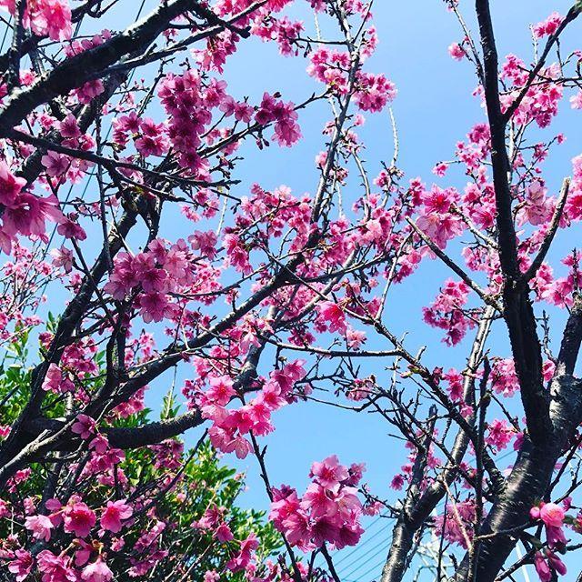 【twin.rii9】さんのInstagramをピンしています。 《#沖縄花カニ2017 #いつもの #散歩道 #桜 #ピンク色 #青空 #みどり #葉っぱ #さくら #ひまわりと #手を繋いで #歩く  #穏やかな時間 #いつまでかな #だいすき ♡》