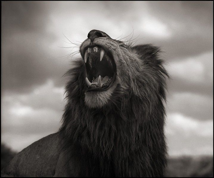 Lion roar by Nick Brandt