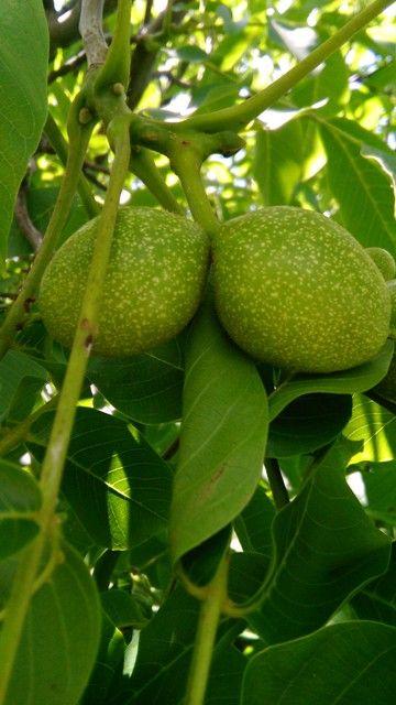 Zelené ořechy na sladko-kyselo     Bylinky pro radost