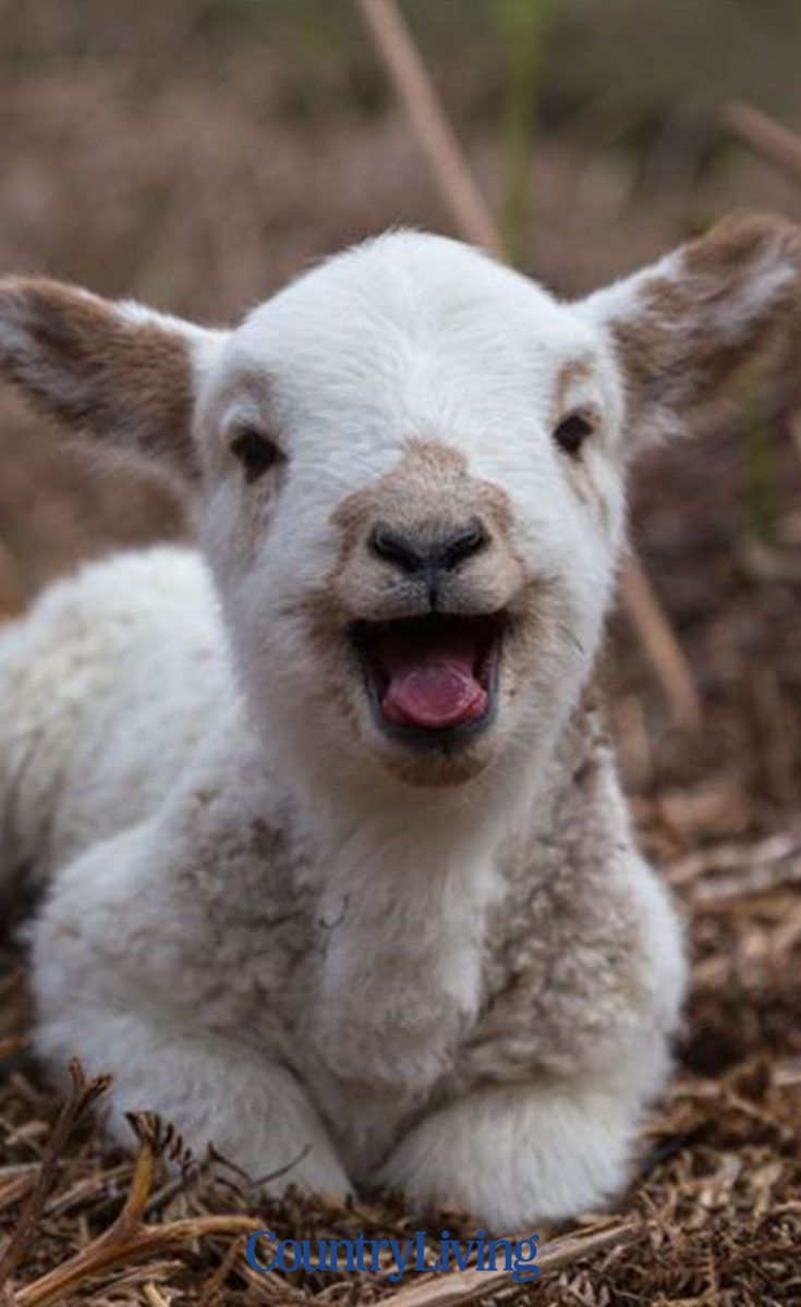 10 best places to see lambs this spring