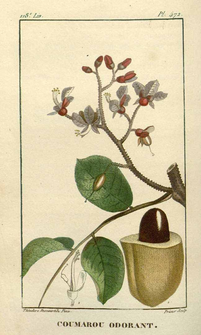 トンカ豆 Tonka bean, Dipteryx odorata (Aublet) Willd. [as Coumarouna odorata Aublet] Descourtilz,  Flore médicale des Antilles  (1829)
