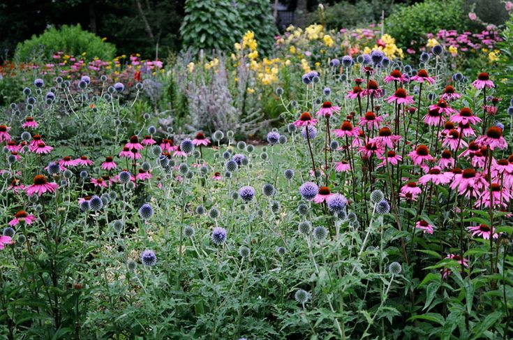 Echinacea and echinops garden plants of interest for Garden trees england