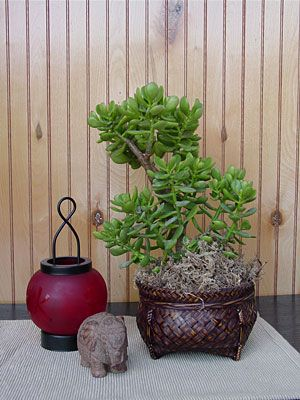 Buy Crassula Jade Plant Plants, For Sale Online, How to grow & care for.