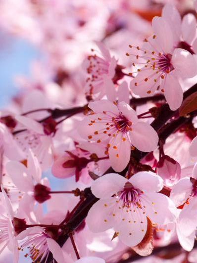 Cherry blossoms | Cherry blossom wallpaper, Spring ...