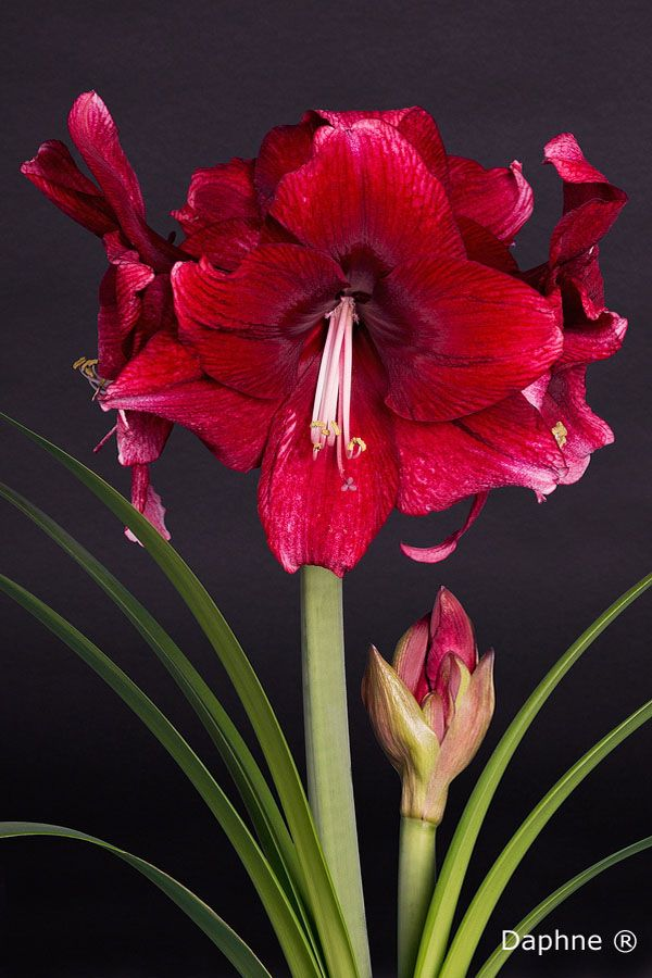 1000 images about amaryllis hippeastrum on pinterest for Amaryllis hippeastrum