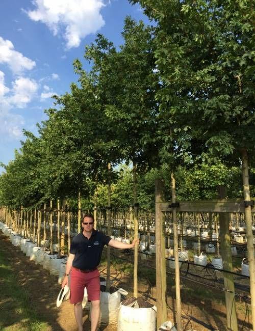 12 14cm Girth Acer Campestre Elsrijk Saville Will Acer Leaves