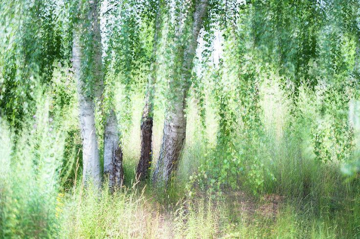 Spring Wind In Birch Grove by Jenny Rainbow.  Beautiful lightness of sunny day and young fresh green of the moving birch foliage.  Giving the feel of youth, careless time and natural harmony for your home space.  #JennyRainbowFineArtPhotography #Spring #Imoressionism #FineArtLandscape #Trees #Green #HealingArt #HomeDecor #WallArt