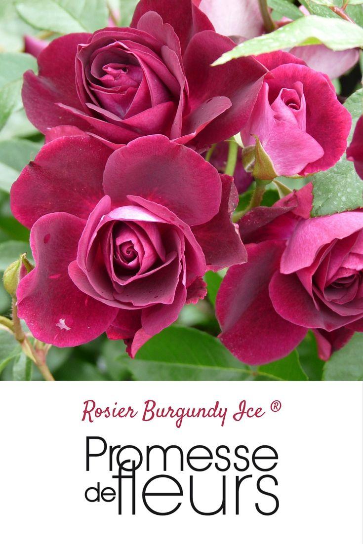 Rosier Burgundy Ice - Ce rosier extraordinaire est une mutation naturelle de l'excellente variété Fée des Neiges (Iceberg), dont il est une version aux fleurs pourprées nuancées de violet, dotée des mêmes qualités exceptionnelles: une floraison presque permanente, un port souple, et une excellente résistance aux intempéries. #rose #rosier