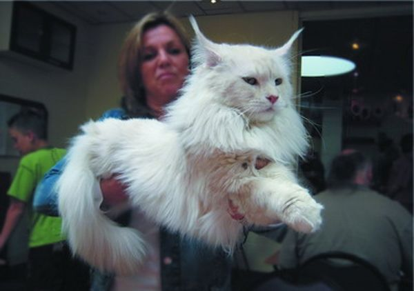 Breed Largest Maine Coon Cat   Originally the breed Maine Coon ...