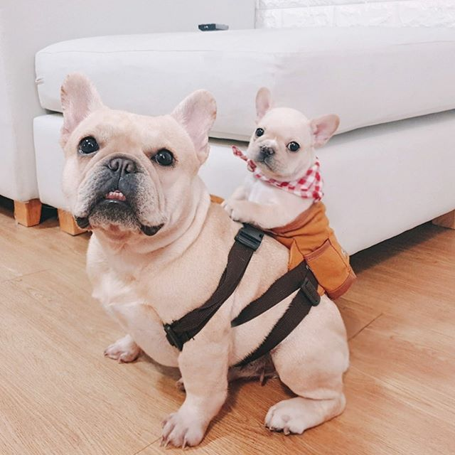 Are You One Of The Pug Lovers Or French Bulldog Lovers If