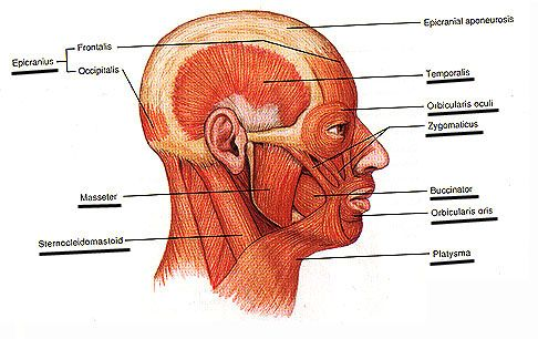 Buccinator muscle - drawing, major cheek muscle | Head and ...