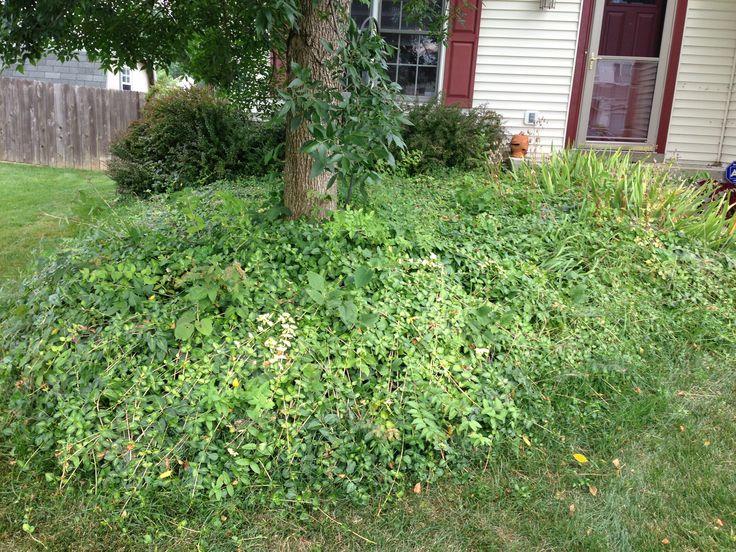 Vinca vine ground cover | Gardening | Pinterest | Vines