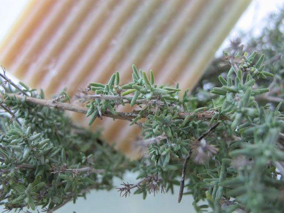 Thymian-Lemongras Duschseife