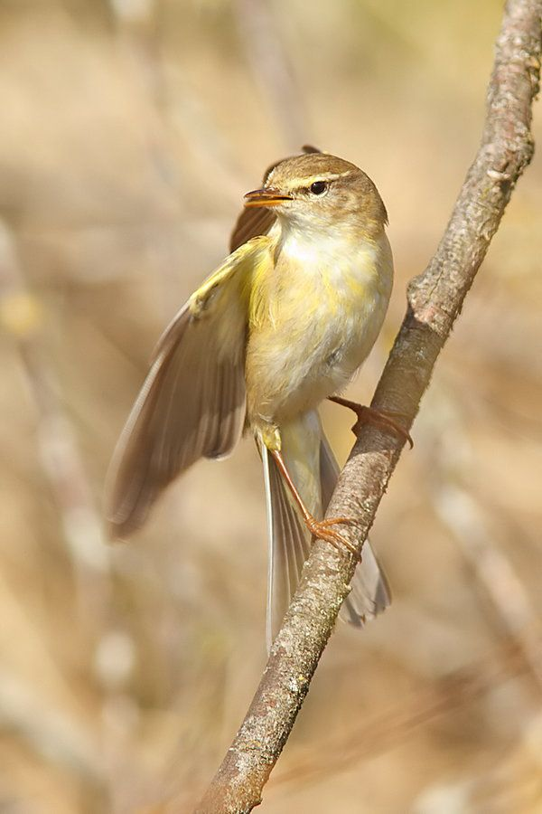 "500px / Photo ""Willow warbler"" by Tom Kruissink"