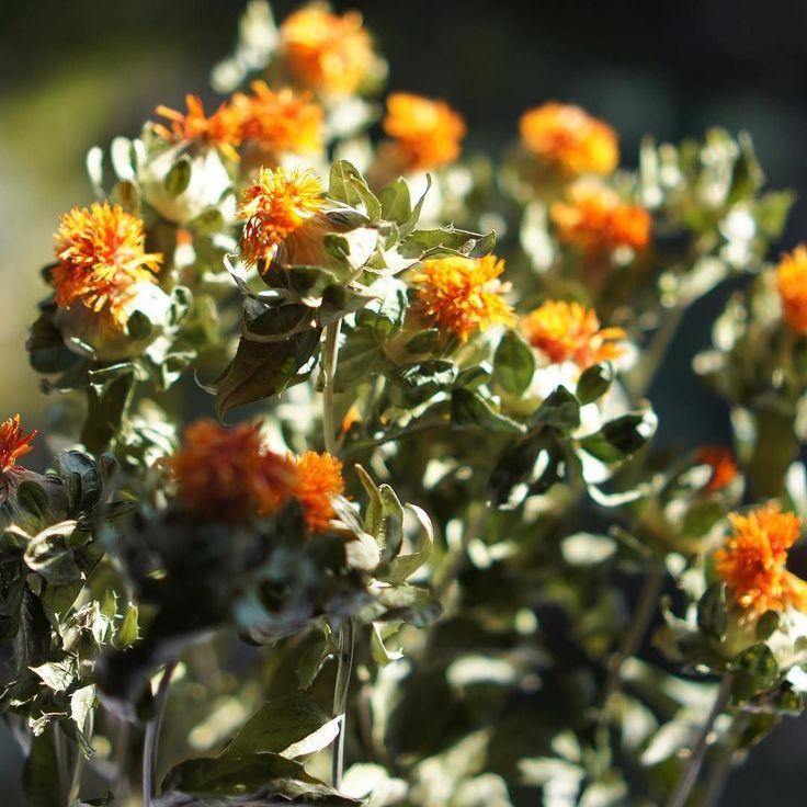 昨日とっとり春のパンまつりで購入したBOSK FLOWERSさんのドライフラワー今日も天気が良いので日向で撮りました陽射しが似合います #vscocam #vscom #vscogram #naturelovers #flower #flowers #ドライフラワー #春 #spring #縁側#dryedflowers #dryedflower #nofilter #sonynex5 #boskflowers #鳥取