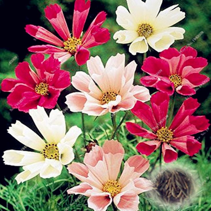 100 Pcs/Bag Cosmos Perennial Flower Seeds Planted For Home Garden Very Easy Grow Indoor Bonsai Pot planter For Sale #Affiliate