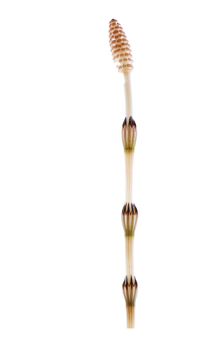 Horsetail (Equisetum hyemale) is a living fossil, the only living genus in Equisetaceae, a family of vascular plants that reproduce by spores rather than seeds.