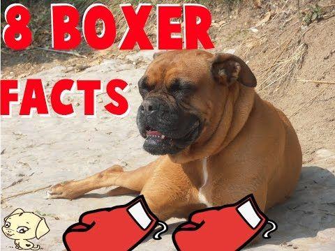 8 fatti interessanti relativi ai boxer