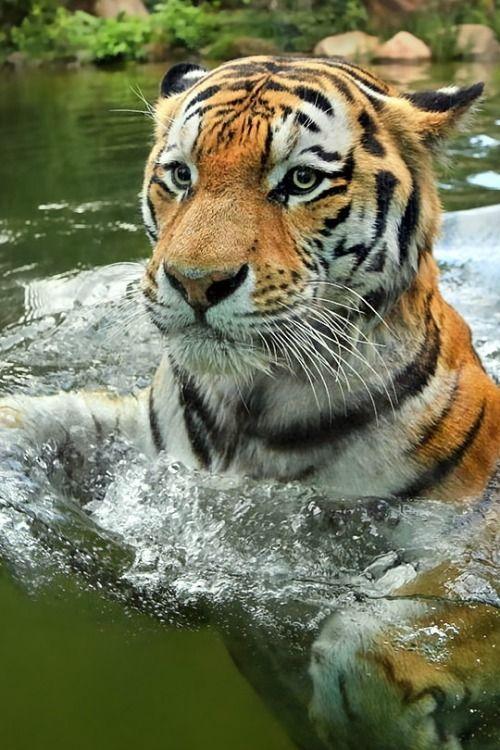 Tiger by Klaus Wiese