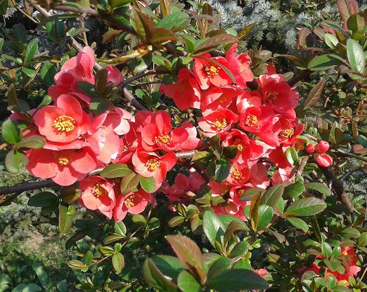 Virágzik a japánbirs #japánbirs #virág #tavasz #gyönyörű