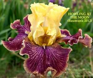 Iris 'Howling at the Moon' from Stout Gardens. Not cheap, but gorgeous! $50: Gardens Outside, Moon Gardens, Beards Iris, Gardens Life, Iris Howl'S, Iris Irresist, Gorgeous Iris, Flora Gardens Delight, Gardens Growing
