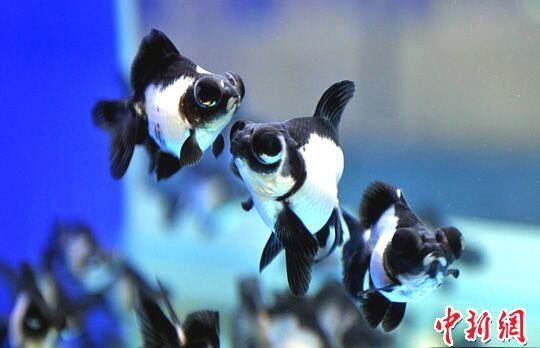 #LaBitácora: El Goldfish Panda chino desciende de la carpa crucial y es resultado de mutación y crianza selectiva.