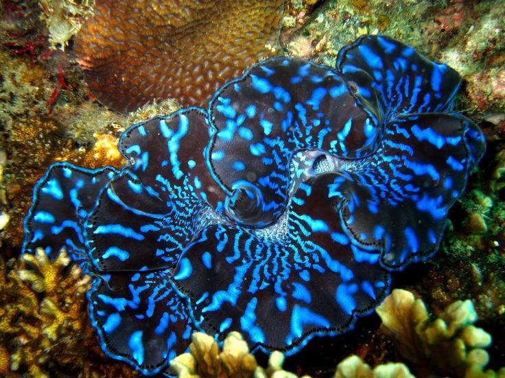 giant clam | Giant clam with Symbiodinium, photo courtesy of projectnoah.com