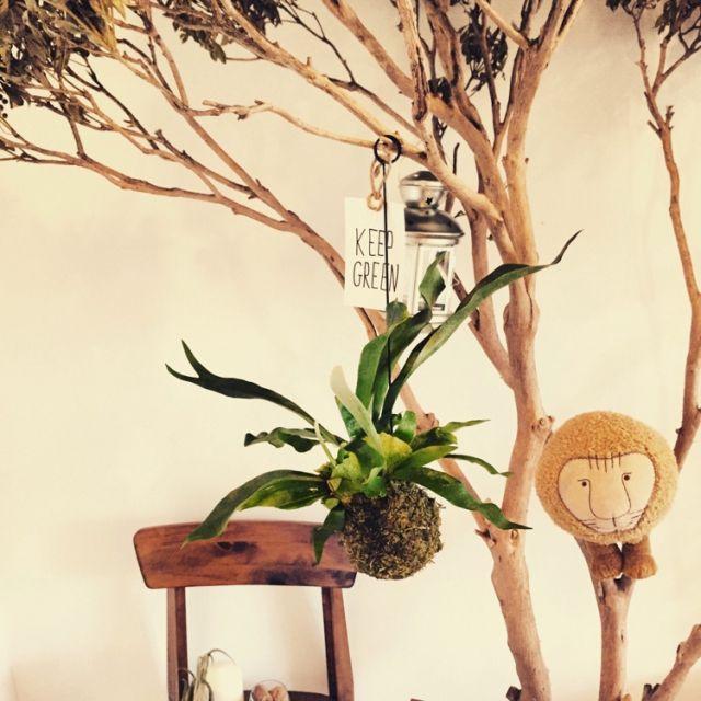 tsunoさんの、観葉植物,多肉植物,NO GREEN NO LIFE,コウモリラン,リビング,のお部屋写真