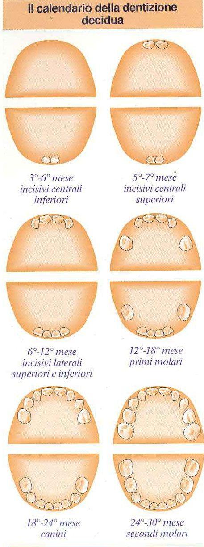 La dentizione decidua (cioè dei denti da latte) inizia con l'eruzione degli incisivi centrali, neri primi tre-sei mesi di vita del neonato e si completa tra i 24 e 30 mesi con l'eruzione dei secondi molari.