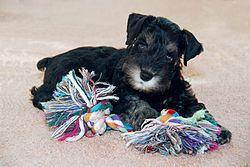 Cachorro de Schnauzer miniatura.