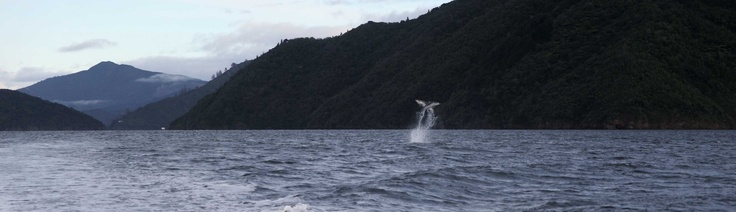 Queen Charlotte Sound, NZ. 2 dolphins leaping out of the water.