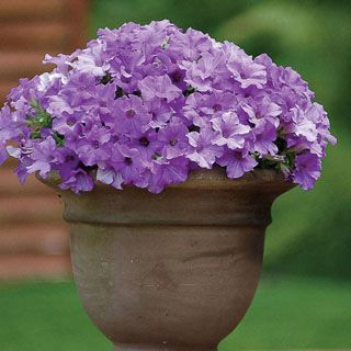 The best spreading Petunia in the world, with vigorous growth and nonstop blooms, even at summer's end and autumn when others slow down. Grown from cuttings instead of seed for greater vigor!