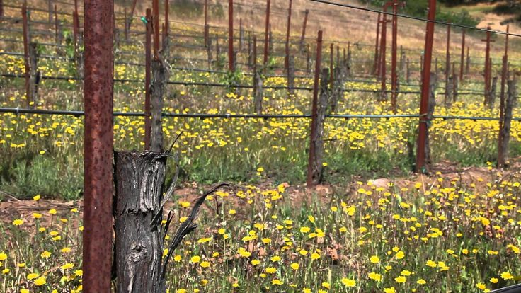 Grapevine grafting: changing vineyard varietals with low-impact farming
