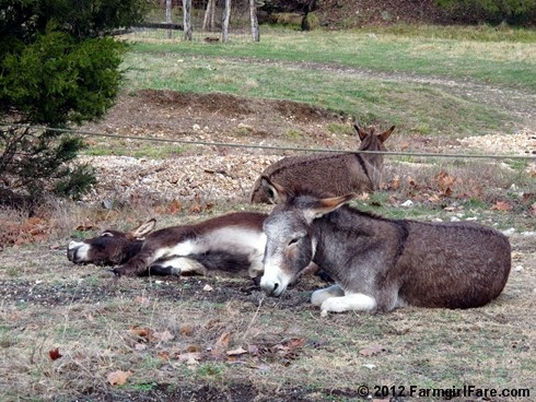 Do donkeys get hangovers? Here's an 18 photo series to help you decide. Happy New Year from the farm! :)