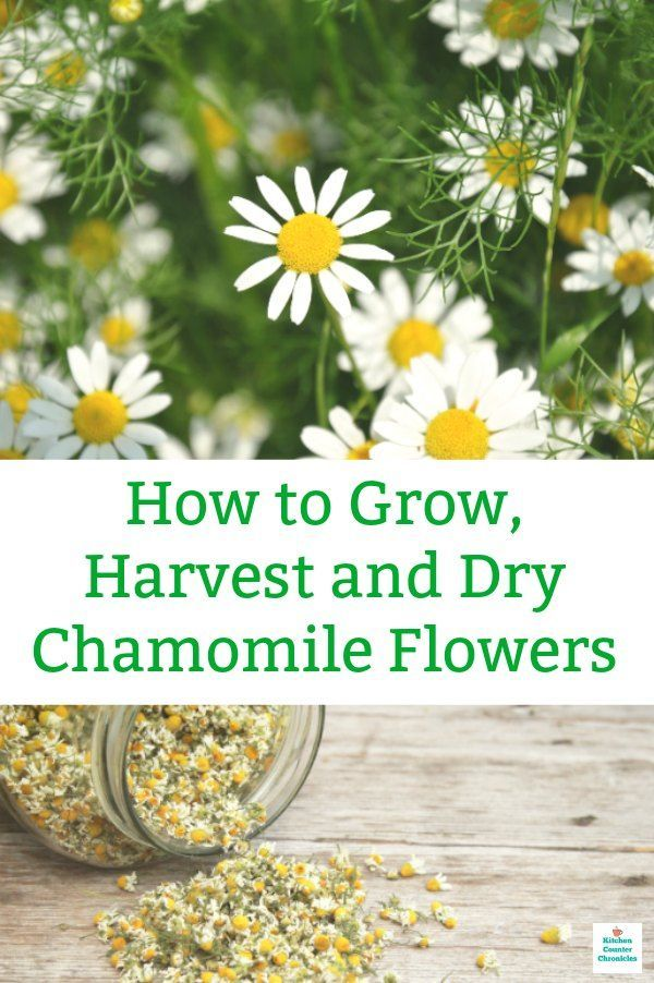How To Harvest Chamomile And Dry Chamomile Flowers Chamomile Growing Chamomile Plant Chamomile Flowers