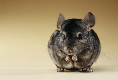 This is what the chinchilla I was gonna get looks like. Unfortunately my daughter is allergic to the food and shavings and my son is allergic to the dust baths. Heartbroken :-(