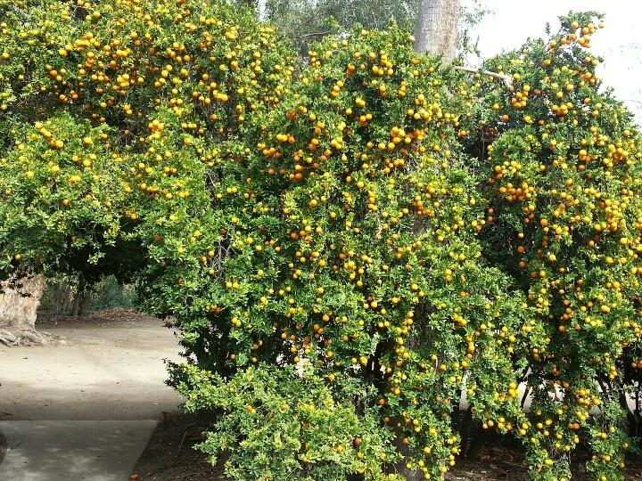 Mini Orange Tree
