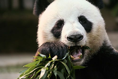 Panda at Toronto Zoo - Top 10 things to do in Toronto
