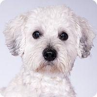 Lhasa Apso/Poodle (Miniature) Mix Dog for adoption in Chicago, Illinois - Tito