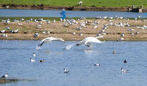 Frisky Swans at Old Moor WetlandsLively action earlier this year at Old Moor Wetlands near Barnsley, South Yorkshire.