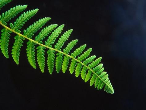 Fern Frond of Ponga Tree Fern, New Zealand Photographic Print by David ...