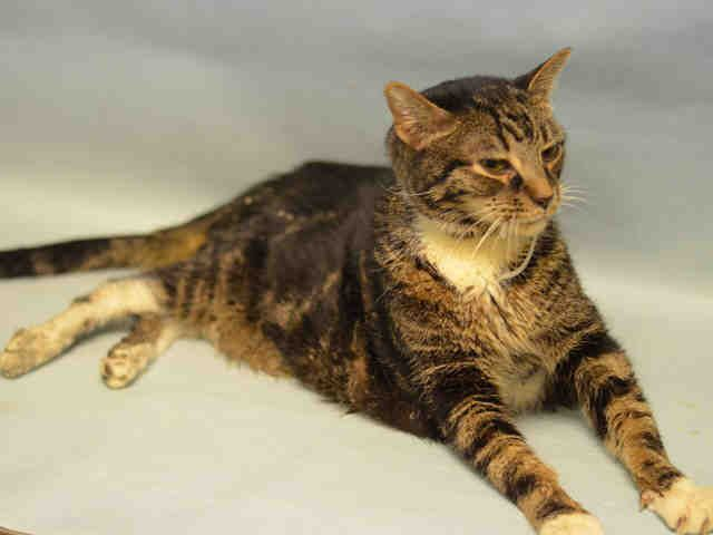 LYGER - A1097295 - - Manhattan  Please Share:*** TO BE DESTROYED 11/20/16 ***BEGINNER…OWNER HOSPITALIZED – 10 YR OLD CAT WAS NOT EATING AT HOME WITH CARETAKER – SO BROUGHT TO MACC!!  CAT NOW EATING – HAS POSS URI-DIABETIC… – VERY FRIENDLY  -  Click for info & Current Status: http://nyccats.urgentpodr.org/lyger-a1097295/