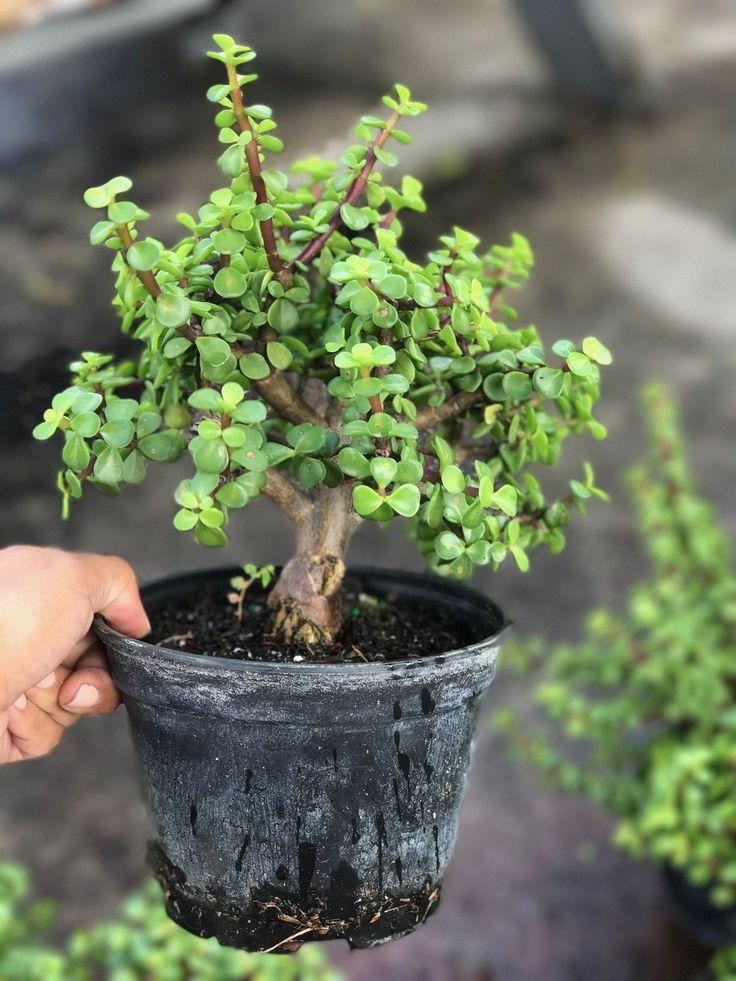 Jade Pre- Bonsai Tree #bonsaitrees