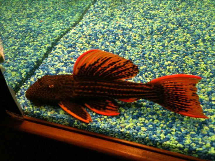 Sunshine Pleco Longfin | Eksotisnya Ikan Sapu-sapu