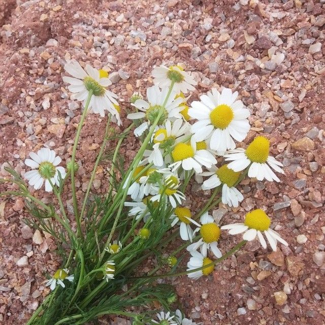 daisy... flower... nature...