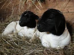 Image result for dorper sheep